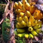ALOALO島バナナだいぶ完熟してきました