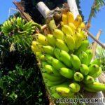 ALOALOで島バナナ実りました(*≧∀≦*)