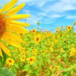 ALOALOBEACH川平より車で10分ぐらいの場所にある向日葵畑(*≧∀≦*)元気を与えてくれる場所です!