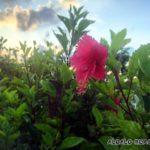 ALOALOにもやっと植えたハイビスカス(=ALOALO)が咲きました♡